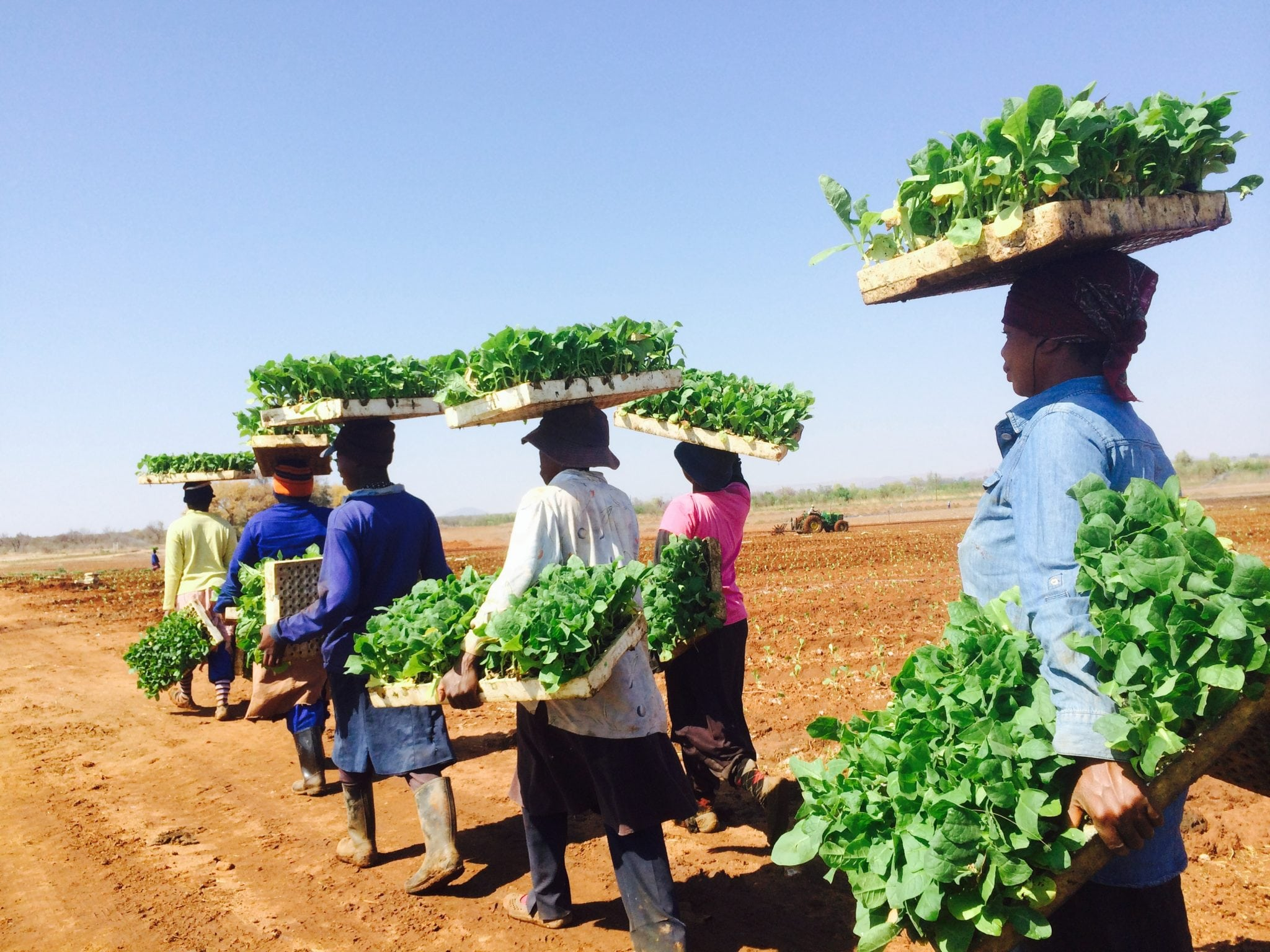 Tobacco farm workers in Marble Hall, South Africa, carry Solaris seedlings from a nursery to the field
